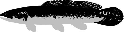 caviarstar-bowfin-black-3-small.jpg